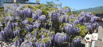 4871-340フジの花.jpg