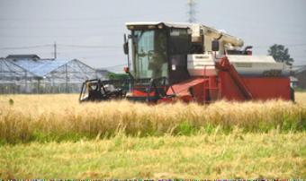 4891-340二条大麦.jpg
