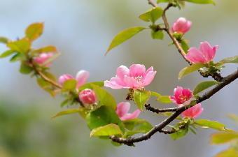5191-340花梨の花.jpg