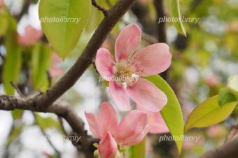 5341-340カリンの花.jpg